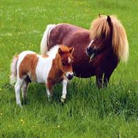 Nettes Pony